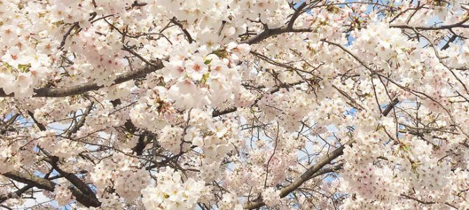 Cherry blossoms in full bloom in Fukuoka City