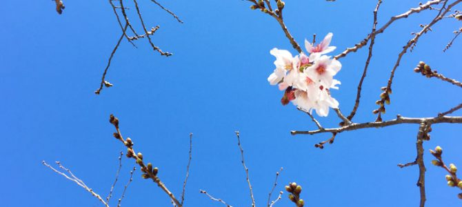 The cherry blossom bloomed in Fukuoka City